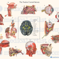 Cranial nerve illustrations created in watercolour