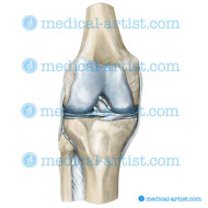 The knee anterior view