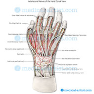 Arteries and nerves of the hand l