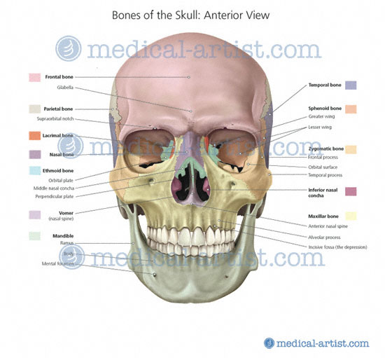 Easy Medical Terminology New Muscular System Reference: Medical Illustrations Of The Human Skeleton