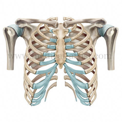 Bony framework of the ribs and shoulder anatomy