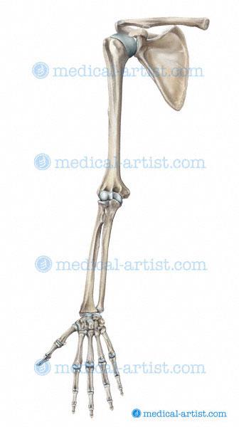 Human Skeleton ...