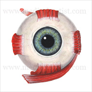 Eye muscle anatomy illustration