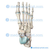 Foot bony anatomy