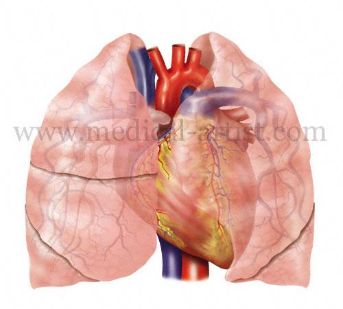 Lungs Heart