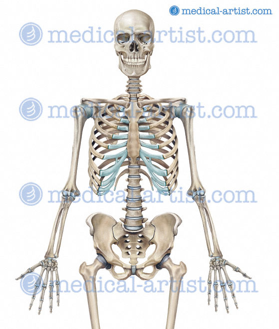 ... Skeletal System http://www.medical-artist.com/skeleton-and-skeletal