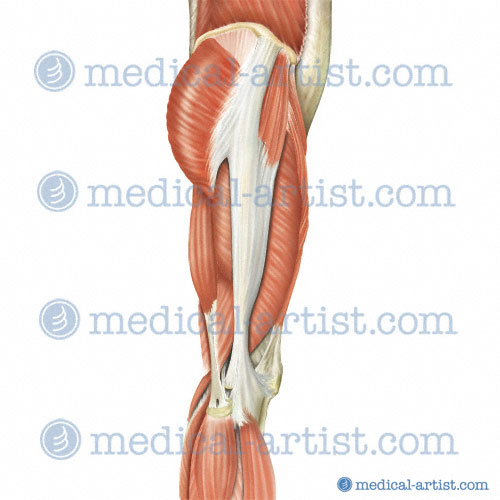medical illustrations of superficial dissection of hip and thigh, Muscles