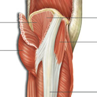 Anatomy of the thigh muscles with reflected gluteus maximus
