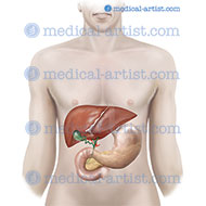 Liver, stomach, pancreas in-situ