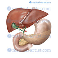 Anatomy of the Liver, stomach, pancreas