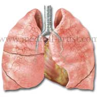 The lungs exchange gases through specialized cells located in the thin-walled air sacs called alveoli