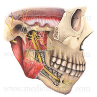 Cross section through the mandible illustration