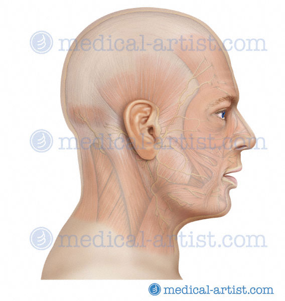 Anatomy of the Head and Neck - Medical Illustrations showing the ...