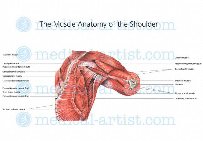shoulder anatomy illustrations | healthy shoulder anatomy, Cephalic Vein
