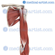Muscles of the shoulder and arm