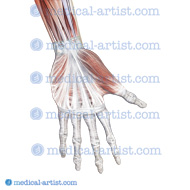 Muscles, ligaments hand