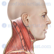 Anatomy of the muscles of the neck