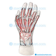 Pencil hand with muscle and artery anatomy