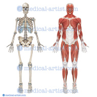 Skeleton and Muscle anatomy