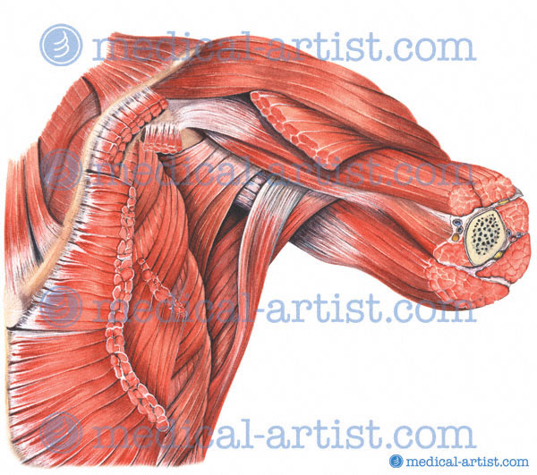 Axilla Anatomy Dissection