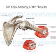 Bony anatomy of the shoulder