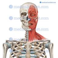 Muscles head and neck