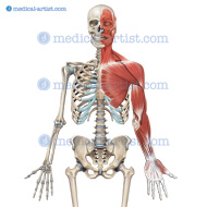 Facial, pectoral, neck muscles and arm palmer view