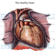 A medical illustration showing healthy heart in situ