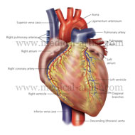 The cardiovascular system in relation to the major human organs, the heart