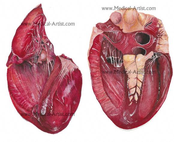 Corte transversal del corazón