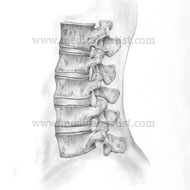 Medical drawing in pencil of the vertebrae
