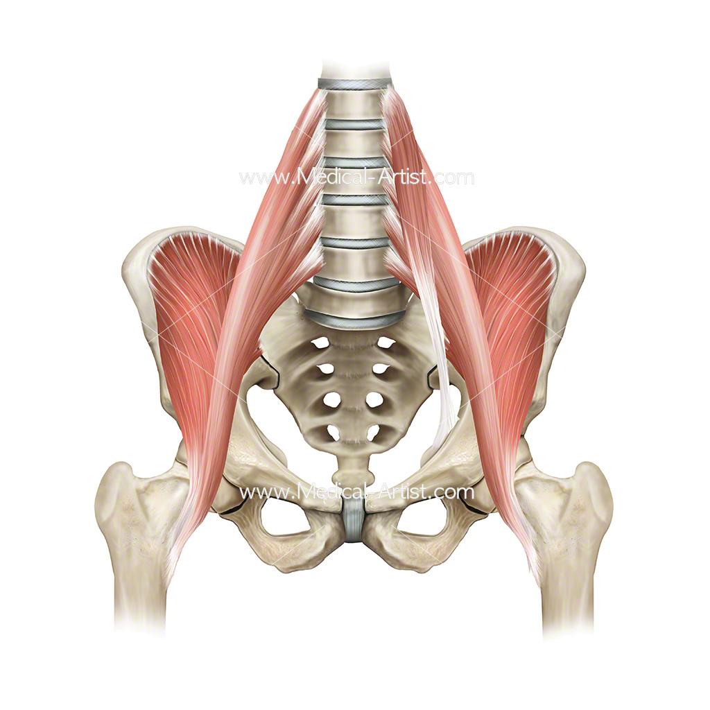 Anatomy hip flexor