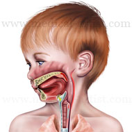 The respiratory system of a child