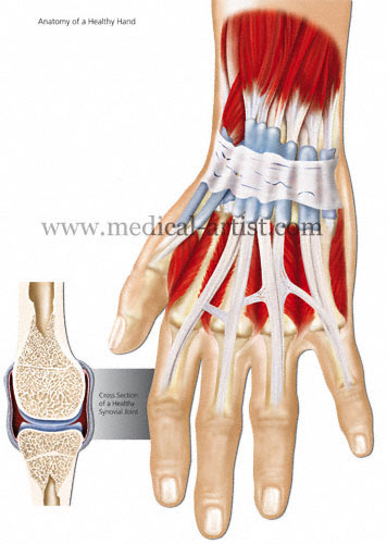 Medical Illustrations of the Human Hand, Fingers and Thumb from ...