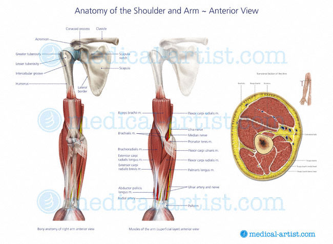 Shoulder Anatomy Illustrations | Healthy Shoulder Anatomy | Shoulder ...
