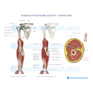 Muscle anatomy of the forearm