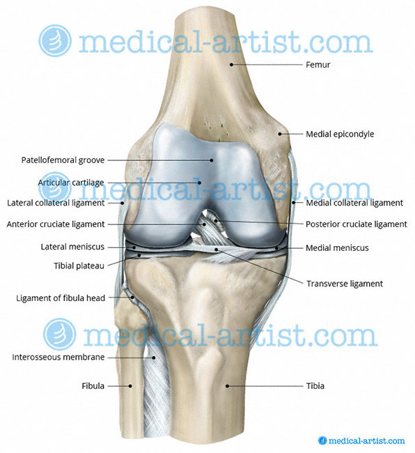Knee and Related Knee Anatomy Images and Medical Illustrations ...