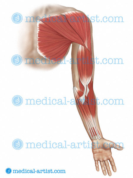 Medical Illustrations Of Muscle Anatomy Of The Shoulder Arm