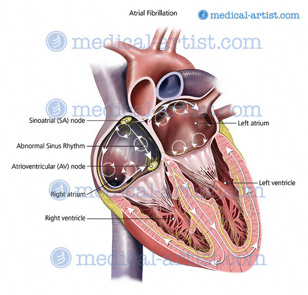 Anatomical Illustrations Of The Human Heart Heart Anatomy Heart