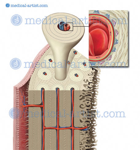 Osteology Illustrations Structure Of Bone Osteology Is About The