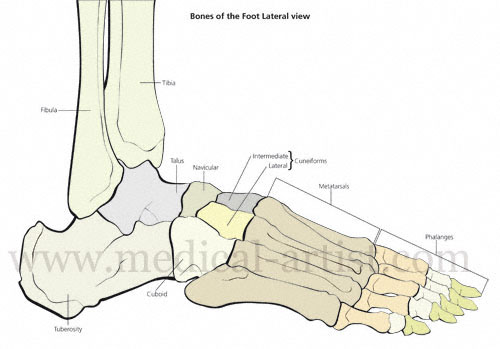 Bones Of The Human Foot Illustrations Tarsals Metatarsals