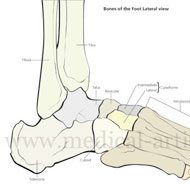 The foot contains more than 26 bones with 33 joints