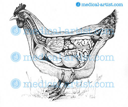 Traditional Pen And Ink Medical Illustrations Gallery Hand Draw By