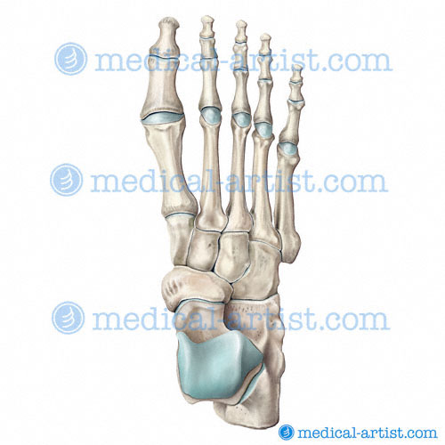 Bones of the Human Foot Illustrations | Tarsals, Metatarsals ...
