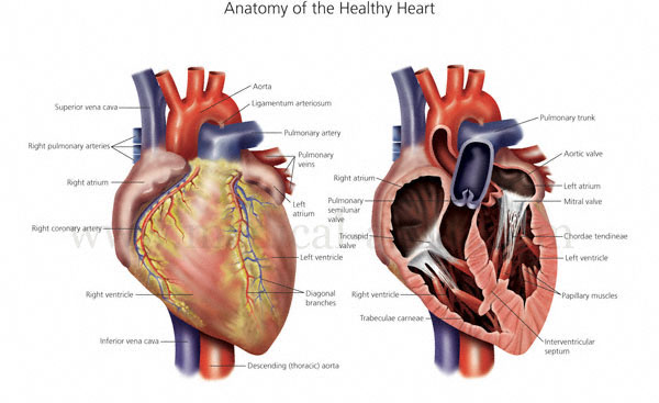 Anatomical illustrations of the human heart heart anatomy heart the healthy heart in cross section ccuart Choice Image