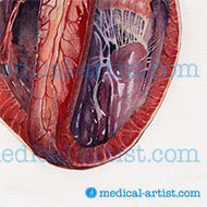 Heart dissected to reveal chambersr
