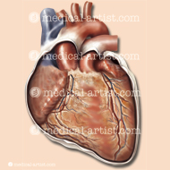 The heart anterior view