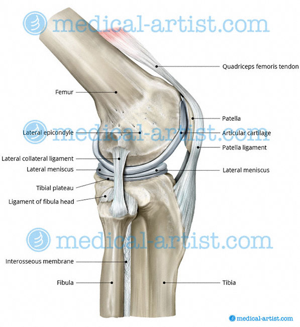 knee anatomy lateral view with the patella and patella ligament