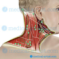 Lymph nodes of the neck region
