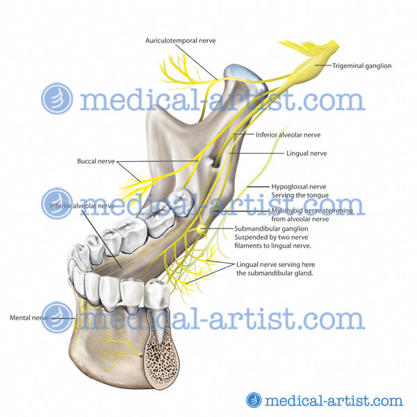 Mandibular Nerve Anatomy Images - human body anatomy